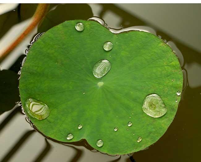 foglia fiore di loto