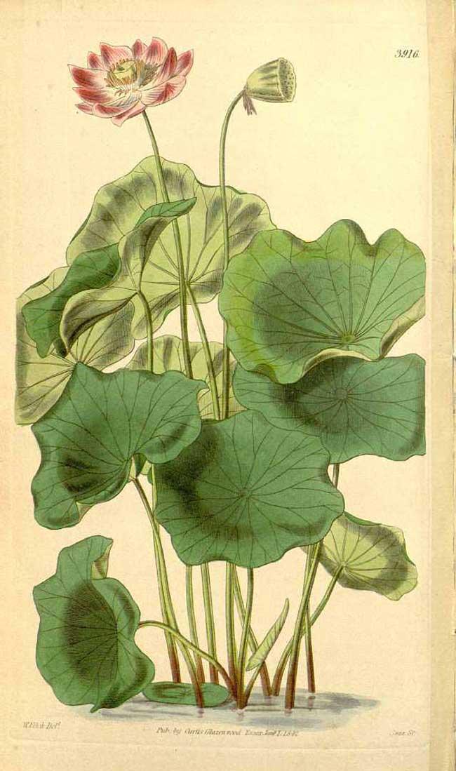 disegno fiore di loto