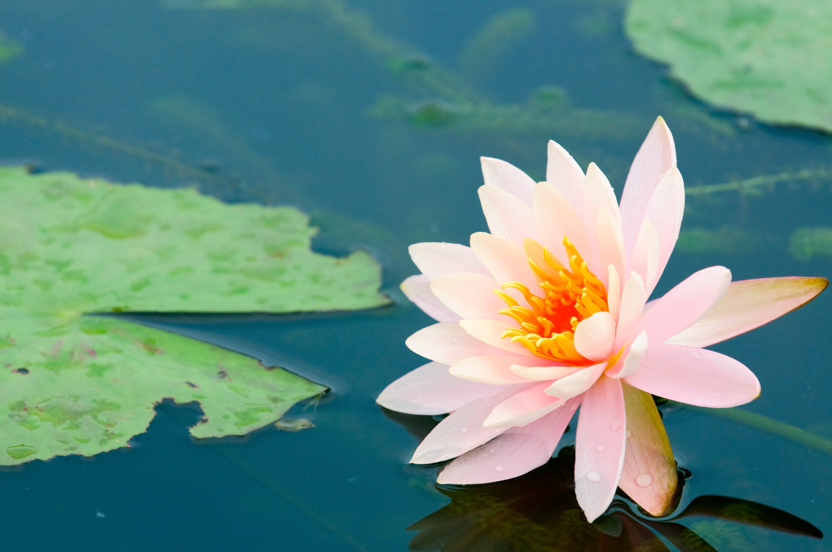 Fiore Di Loto Come Coltivarlo Al Meglio Fai Da Te In