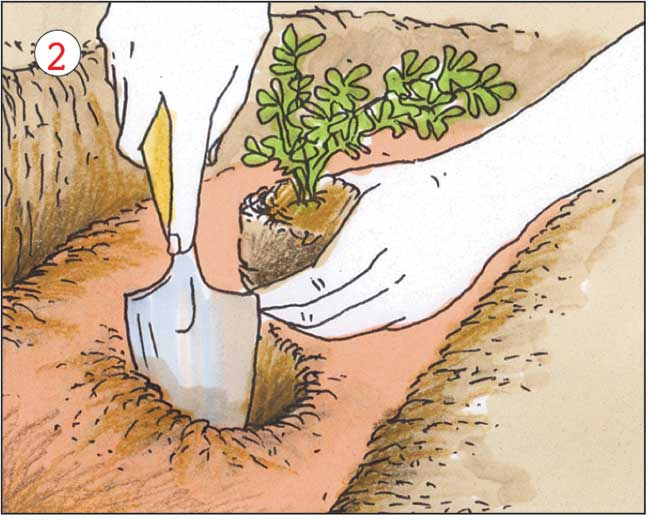 coltivazione sedano