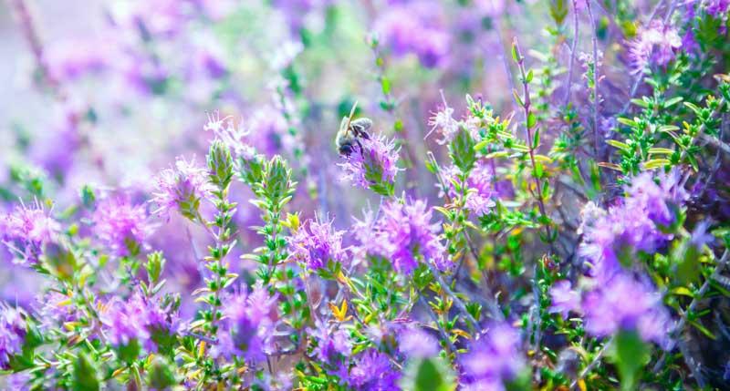 Pianta aromatica Timo in fiore