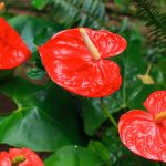 Anthurium | Coltivazione, potatura e riproduzione