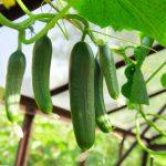 Coltivare cetrioli | Semina, terreno, annaffiatura e cure