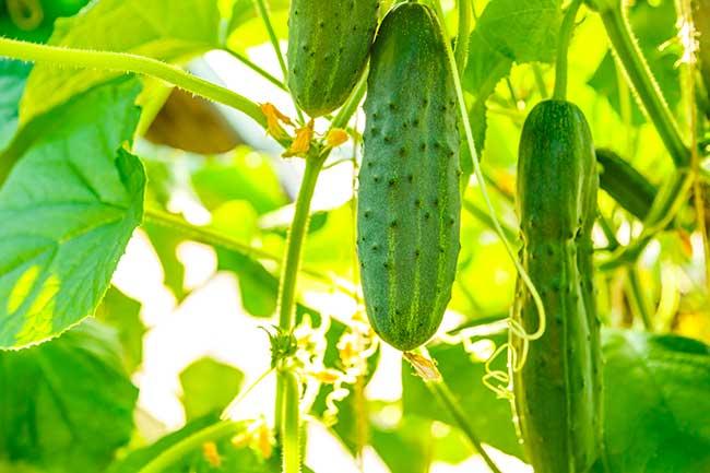 pianta di cetriolo