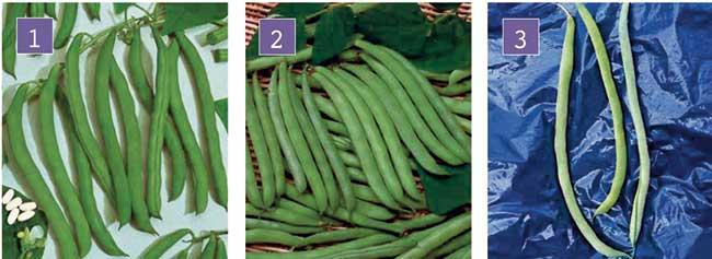 varietà verdi di fagiolino