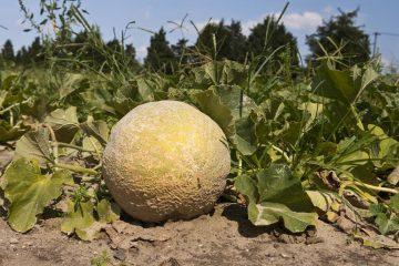 Fai da te in giardino il tuo giardinaggio spiegato passo for Coltivare meloni