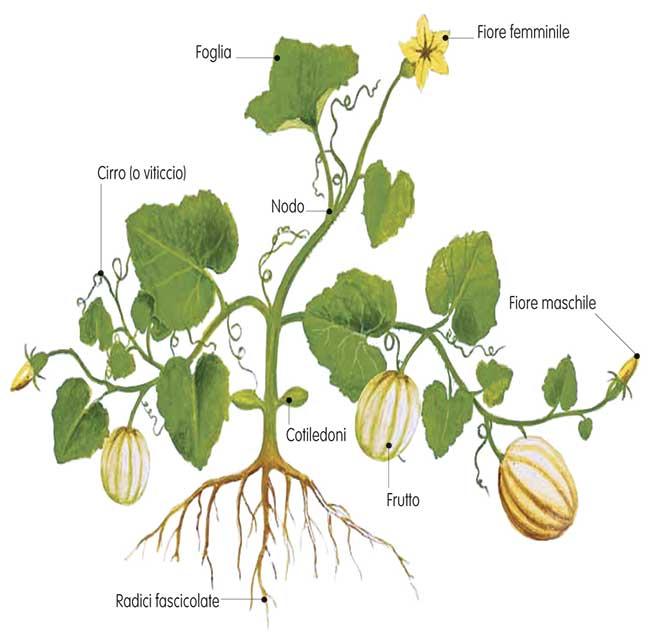 Tecniche colturali for Coltivare meloni