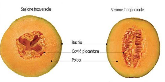 frutto melone