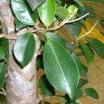 Ficus | Varietà, riproduzione e potatura