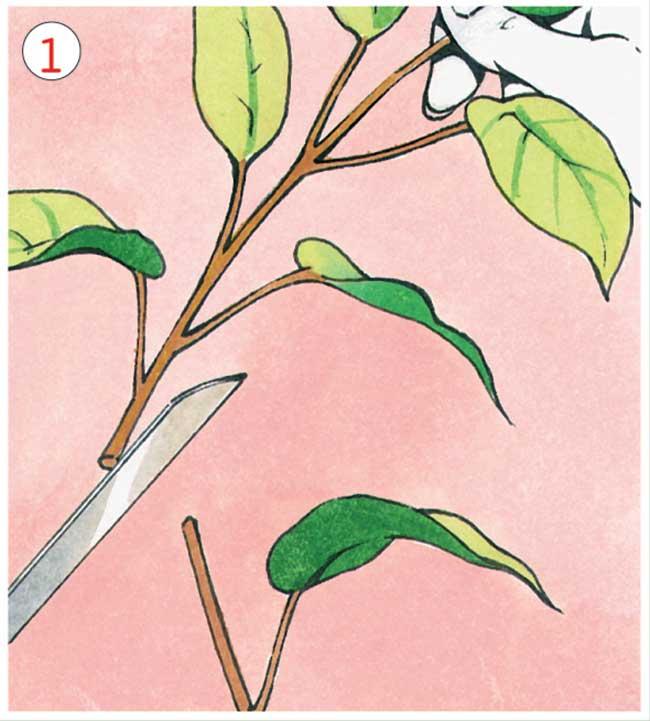 Ficus Varieta Riproduzione E Potatura Fai Da Te In Giardino