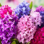 Giacinto | Come coltivarlo e prolungare la fioritura