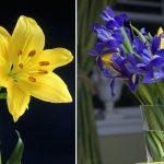 Giglio fiore | Come coltivarli e moltiplicarli con le squame