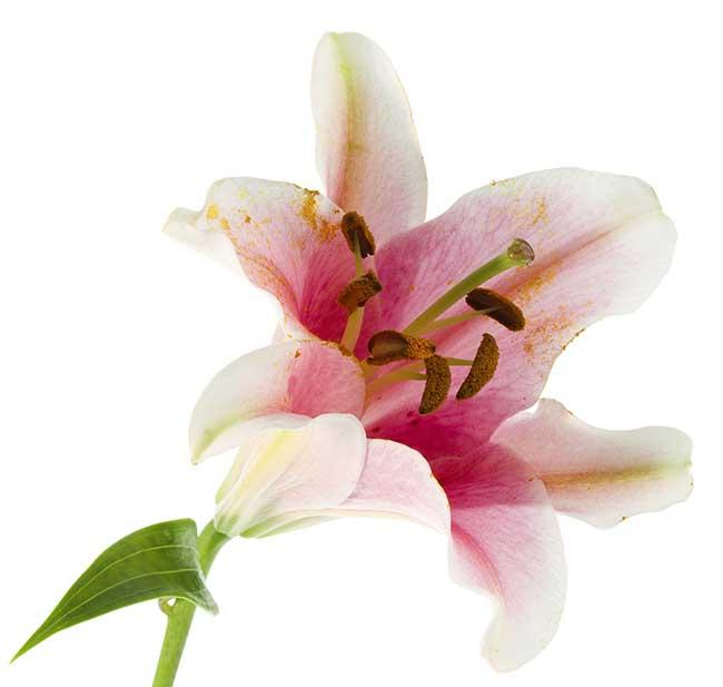 Fiori Giglio.Giglio Fiore Come Coltivarli E Moltiplicarli Con Le Squame