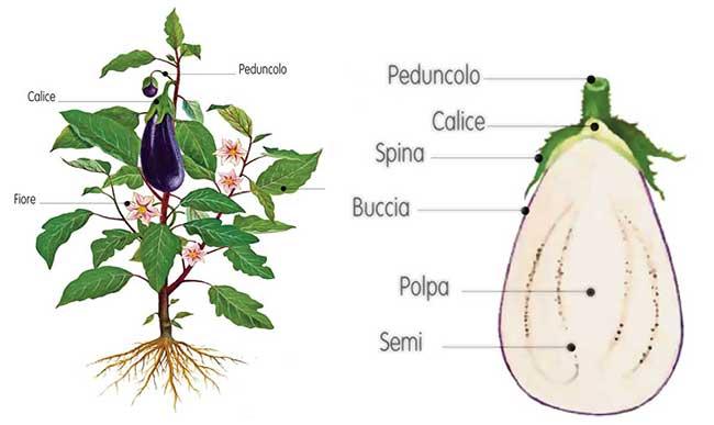 pianta melanzana