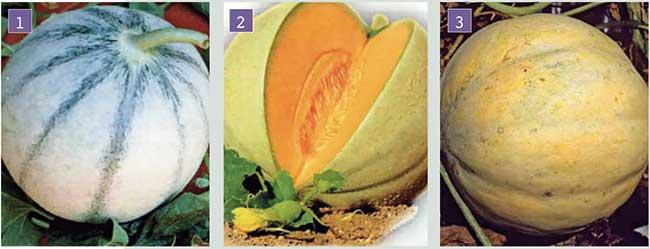meloni frutto liscio