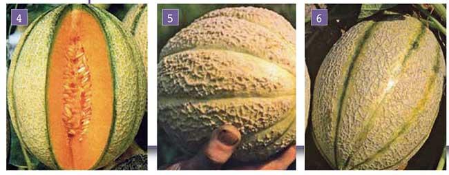 Coltivare meloni retati lisci e invernali con successo for Coltivare meloni
