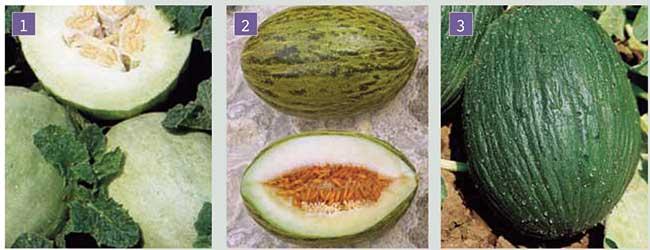 meloni inverno