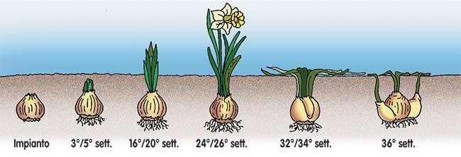 ciclo vegetativo narcisi