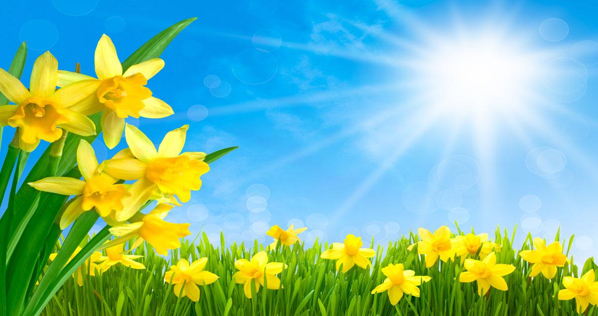Narcisi come piantarli e farli crescere correttamente for I fiori della balsamina