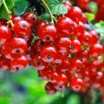 Ribes coltivazione | A frutto rosso a frutto nero e uva spina
