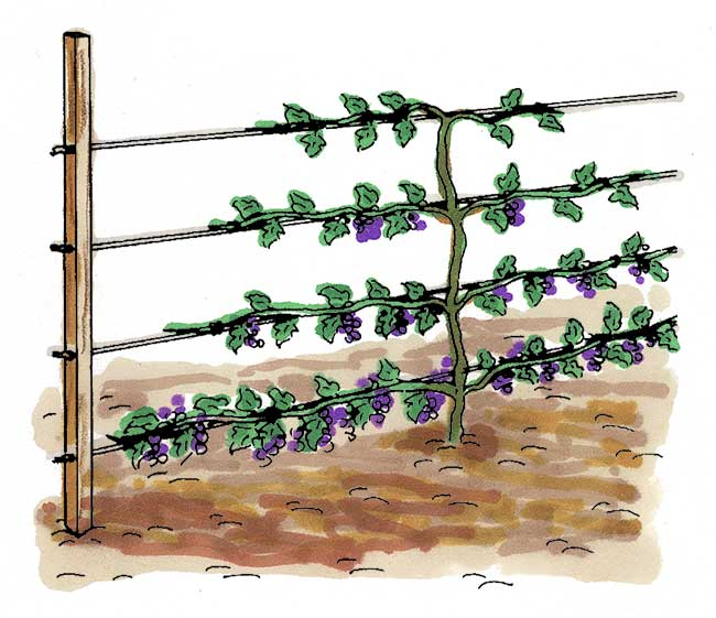 come coltivare il ribes