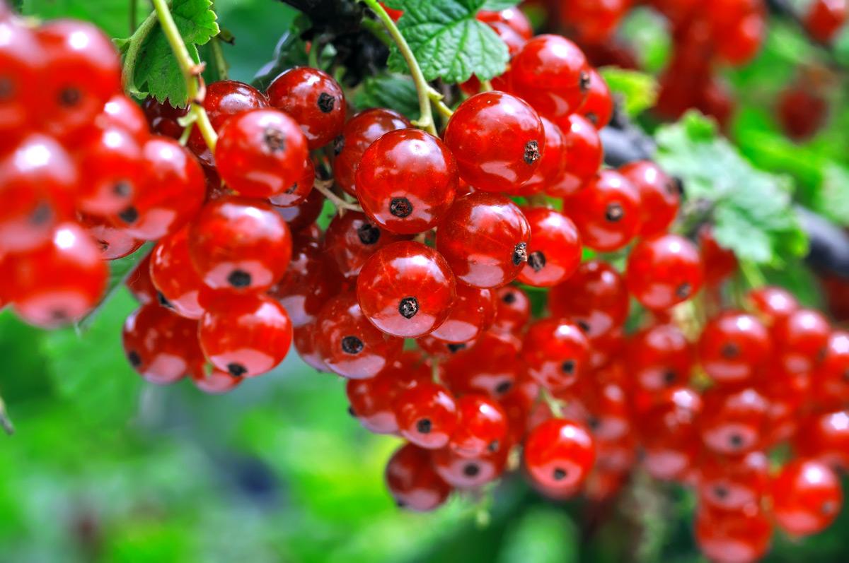 Ribes coltivazione a frutto rosso a frutto nero e uva spina - Coltivare uva da tavola in vaso ...