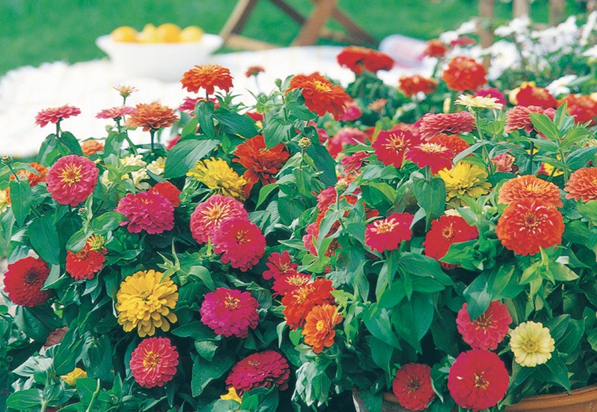 Coltivare Fiori Da Recidere zinnia: guida dettagliata alla coltivazione - fai da te in