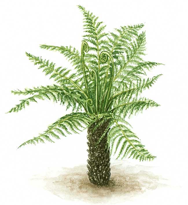Felce potatura e coltivazione in dettaglio fai da te in - La felce pianta ...