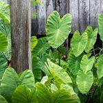 Filodendro (Monstera) | Errori da non commettere per coltivarlo al meglio