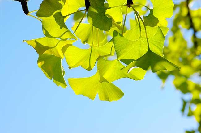 ginko foglie