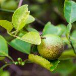 Malattie agrumi | Come intervenire in modo mirato