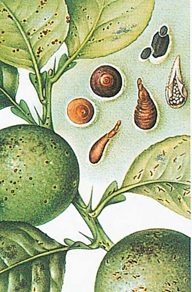 Malattie agrumi come intervenire in modo mirato fai da - Malattie limone fumaggine ...