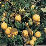 Agrumi | Nomi, coltivazione, potatura e terriccio