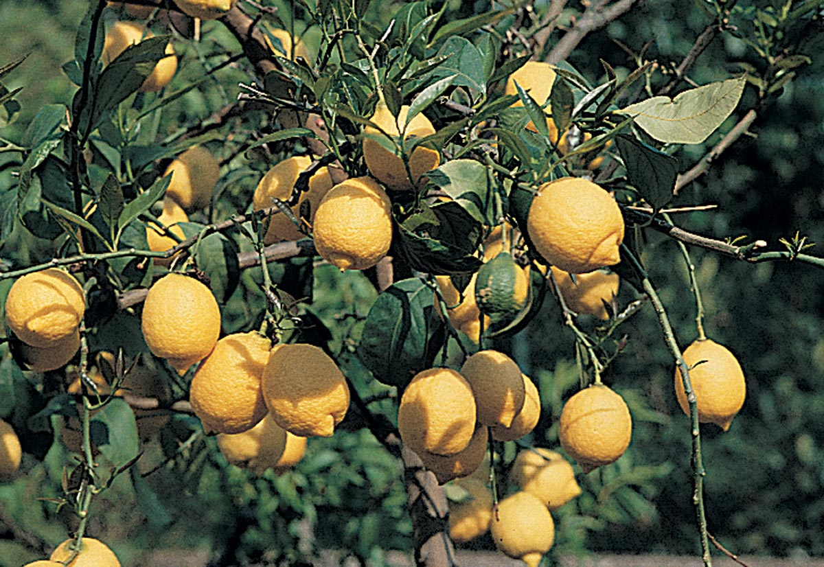 Agrumi coltivazione potatura e terriccio fai da te in for Coltivare limoni