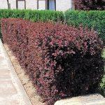 Berberis (Crespino) | Coltivazione, potatura, fioritura e cure