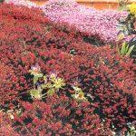 Brughiera in giardino | Come realizzarla con piante rustiche