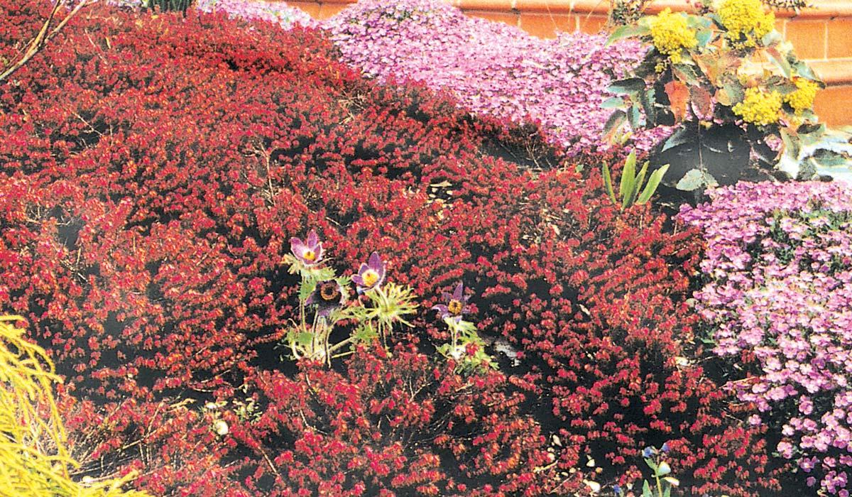 Brughiera in giardino come realizzarla con piante rustiche for Piante fiorite perenni da esterno