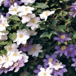 Clematide | Coltivarla come rampicante o in vaso