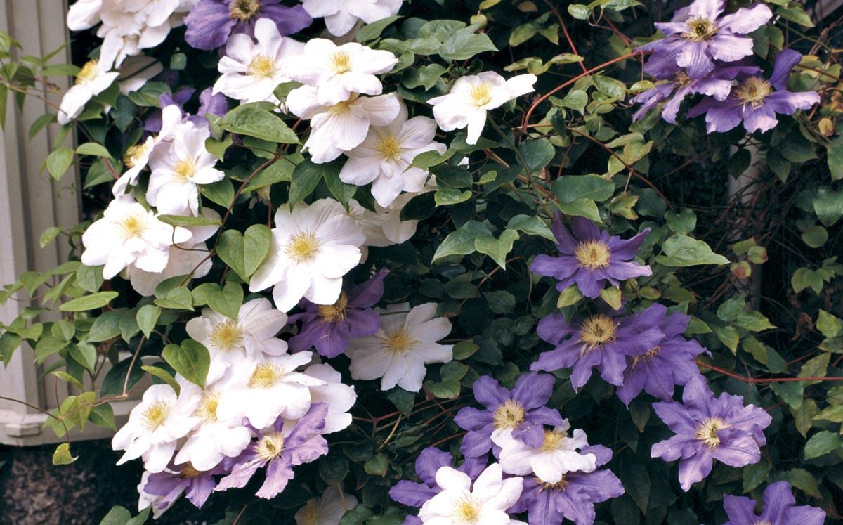 Rampicanti Adatti In Vaso come coltivare le piante rampicanti - fai da te in giardino