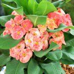 Euforbia | Pianta erbacea annuale
