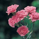 Garofano | Come coltivarlo in terra e in vaso