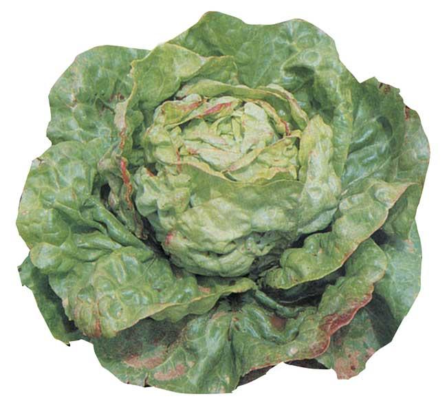 Lattuga semina trapianto e coltivazione dell 39 insalata for Insalata da taglio