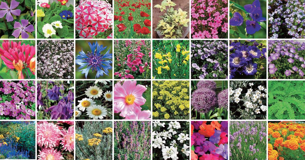 Piante perenni 32 variet per bordura giardino balcone for Piante fiorite perenni da esterno