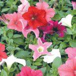 Petunia | Coltivazione e talea