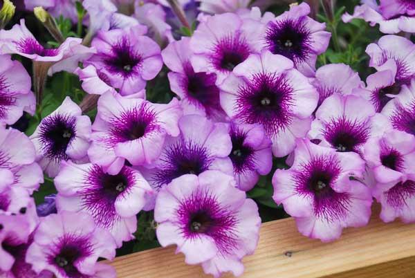 fiori petunie
