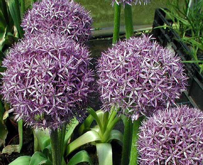 piante perenni 32 variet per bordura giardino balcone