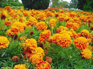 Piante perenni 32 variet per bordura giardino balcone for Piante da aiuola perenni