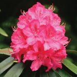 Rododendro, arbusto fiorito sempreverde