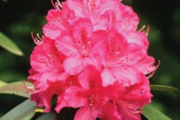 rododendro fiore