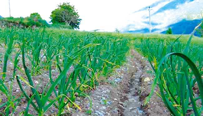 campo coltivato con aglio